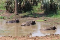 IMG_2570-uganda-wildlife-safaris-aswa-lolim