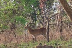 IMG_5524-uganda-wildlife-safaris-aswa-lolim