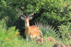 IMG_5684-uganda-wildlife-safaris-aswa-lolim