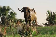 IMG_5783-uganda-wildlife-safaris-aswa-lolim
