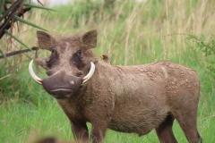 IMG_6765-uganda-wildlife-safaris-aswa-lolim