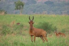 IMG_6780-uganda-wildlife-safaris-aswa-lolim
