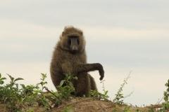 IMG_6795-uganda-wildlife-safaris-aswa-lolim