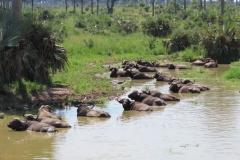 IMG_9495-uganda-wildlife-safaris-aswa-lolim
