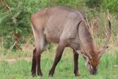 uganda-wildlife-safaris-aswa-lolim-15