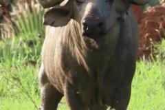 uganda-wildlife-safaris-aswa-lolim-17