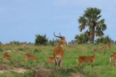 uganda-wildlife-safaris-aswa-lolim-3