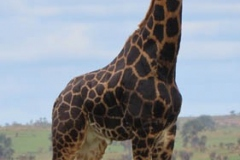 uganda-wildlife-safaris-aswa-lolim-5