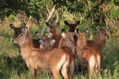 uganda-wildlife-safaris-kafu-river-basin-107