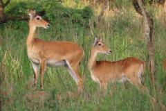uganda-wildlife-safaris-kafu-river-basin-109