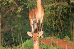uganda-wildlife-safaris-kafu-river-basin-110