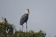 uganda-wildlife-safaris-kafu-river-basin-15