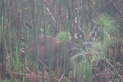 uganda-wildlife-safaris-kafu-river-basin-27