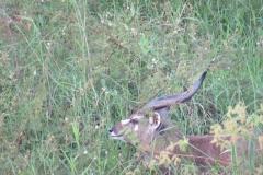 uganda-wildlife-safaris-kafu-river-basin-35