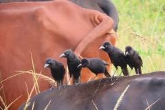 uganda-wildlife-safaris-kafu-river-basin-47