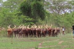 uganda-wildlife-safaris-kafu-river-basin-52