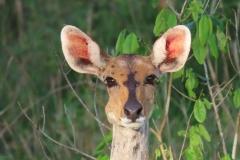 uganda-wildlife-safaris-kafu-river-basin-96